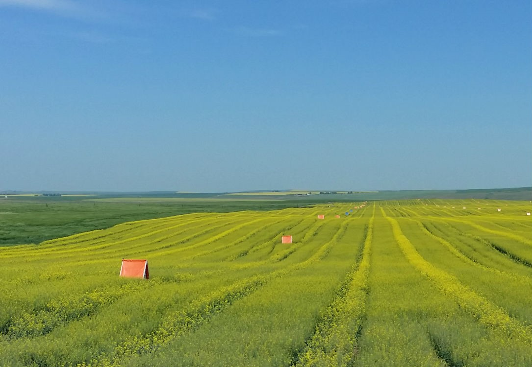 Hybrid canola production field