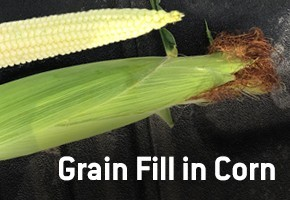 Grain-Fill-in-Corn-thumbnail-image.jpg