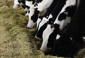 PRIDE_cows_2.jpg