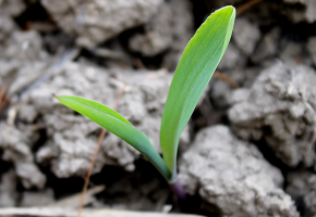 cropped-corn-first-leaf.PNG