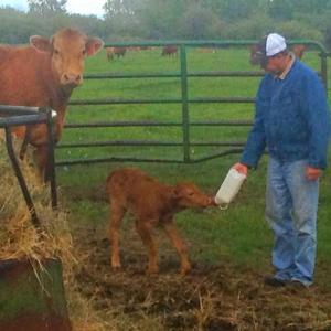 Brian feeding a calf